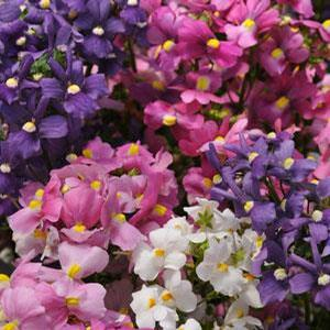 Nemesia Poetry Mix