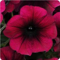Petunia Easy Wave Burgundy Velour