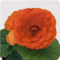 Begonia Bliss Orange