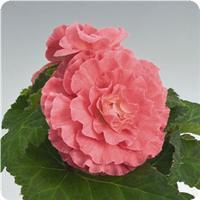 Begonia Bliss Pink Shades