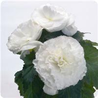 Begonia Bliss White