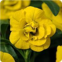 Calibrachoa MiniFamous Double Deep Yellow