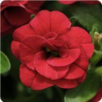 Calibrachoa MiniFamous Double Compact Red