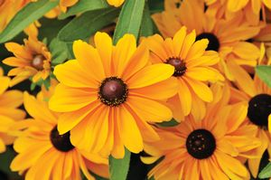 Rudbeckia Tiger Eye