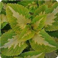 Coleus Kong Jr Green Halo