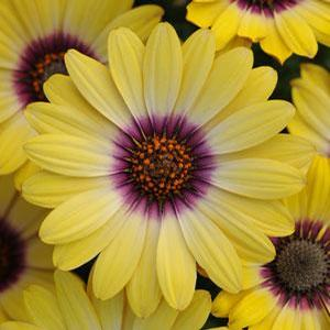 Osteospermum Blue Eyed Beauty