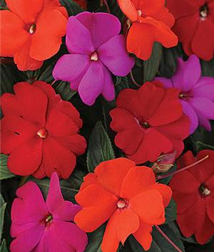 NG Impatiens Divine Hot Mix