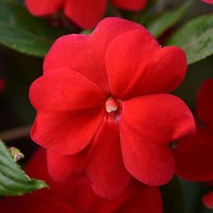 NG Impatiens Divine Red