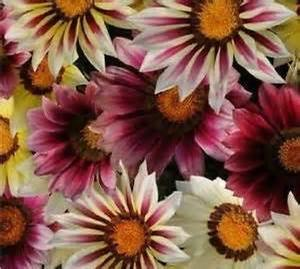 Gazania New Day Strawberry Shortcake Mix