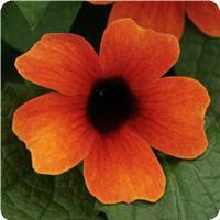 Thunbergia Arizona Glow