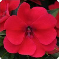 Impatiens Bounce Cherry