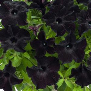 Petunia Black Magic