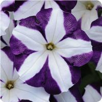 Petunia Sun Spun Purple Star