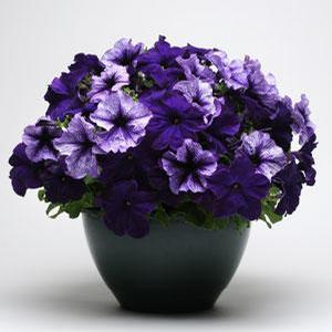 Petunia Fuseables Pleasantly Blue