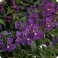 Angelonia 'Angelmist Spreading Purple'