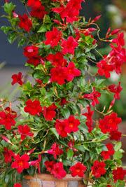 Mandevilla Sun Parasol Pretty Deep Red