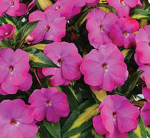 NG Impatiens Strike Orchid