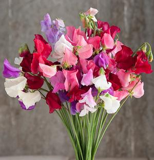 Lathyrus Mammoth Mix