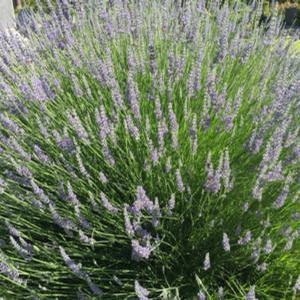 Lavandula Dutch