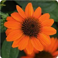 Echinacea Sombero Adobe Orange
