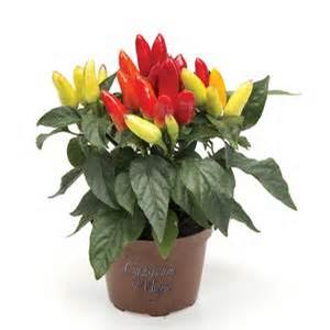 Ornamental Pepper 'Mambo Yellow Red'