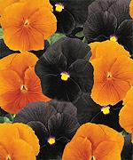 Pansy Halloween Mix