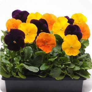 Pansy Harvest Mix