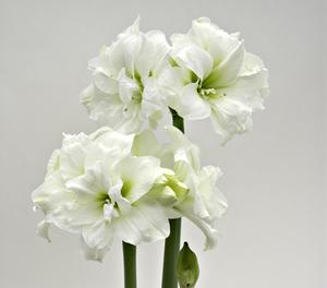 Amaryllis Alfresco - white