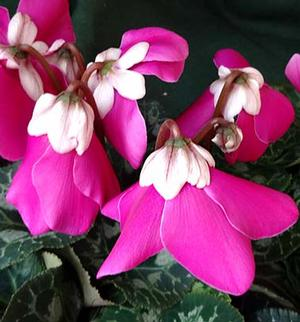 Cyclamen Fleur en Vogue Purple
