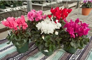 Cyclamen Friller Mix