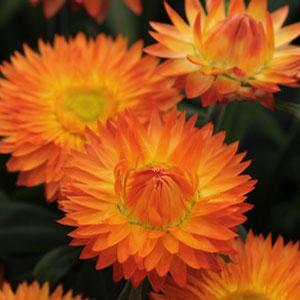 Bracteantha Mohave Orange