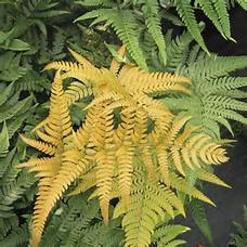 Fern Golden Mist