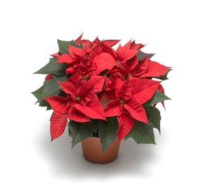 Poinsettia Aira Red