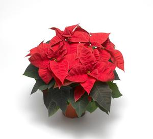 Poinsettia Majoris Red