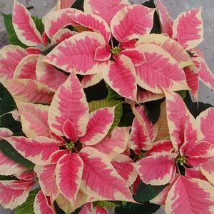 Poinsettia Christmas Beauty Marble