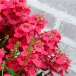 Diascia Morning Mist Red
