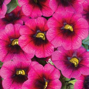 Calibrachoa Calitastic Plumberry Pop