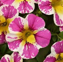 Calibrachoa Candy Shop Sweet Dreams
