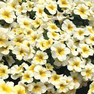 Calibrachoa Million Bells Butter Pop