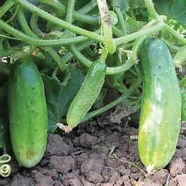 Cucumber Double Yield