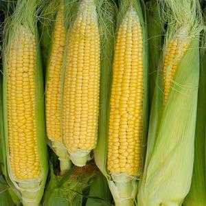 Corn Golden Bantum
