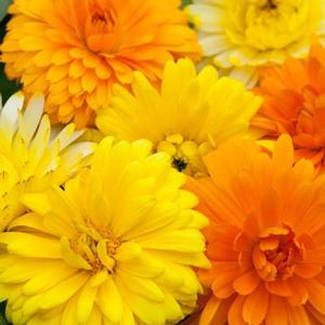 Calendula Costa - mix