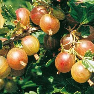 Gooseberries Pixwell