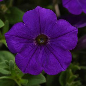Basket Sun Petunia Headliner Blue
