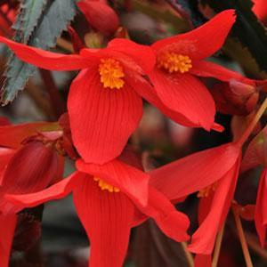 Basket Shade Begonia Mistral Dark Red
