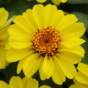 Zinnia Zahara XL Yellow