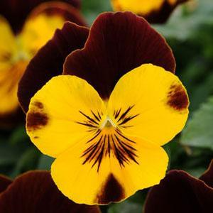 Pansy Cool Wave Sunshine 'N Wine