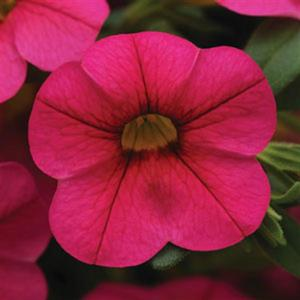 Calibrachoa Cabaret Hot Pink