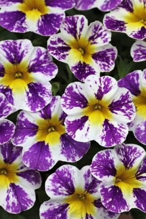 Calibrachoa Candy Shop Grape Splash