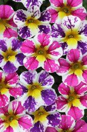 Calibrachoa Candy Shop Pixie Stix Mix